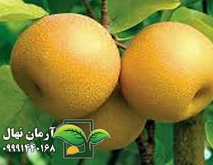 گلابی پرتقال